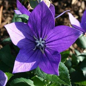 Fotos de flores azules