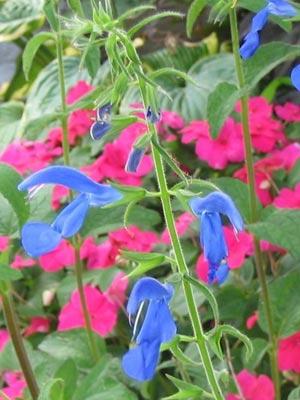 Flores azules: Salvia Patens