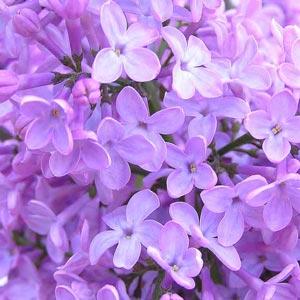 Fotos de flores: lilas