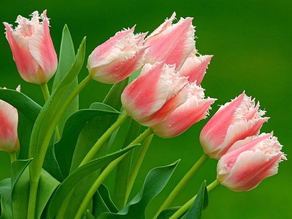 Fotos de flores tulipanes 22