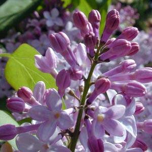 Fotos de lilas