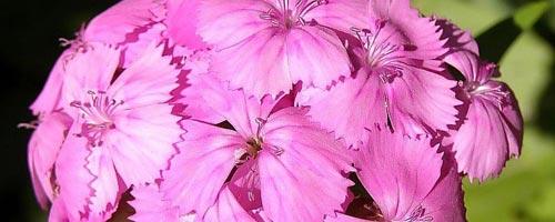 Imágenes de claveles