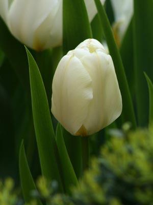 Imágenes de tulipanes