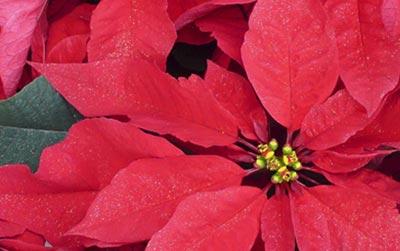 Mantenimiento de las flores: Poinsettia