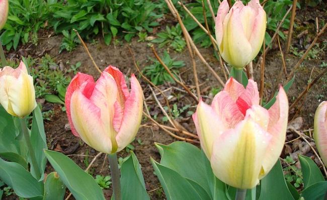 Tulipanes botánicos