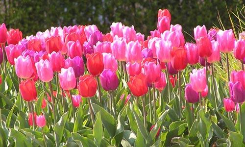 Tulipanes, imágenes