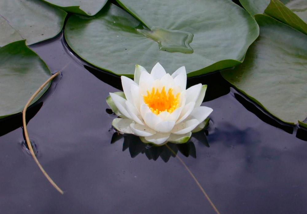 significado de la flor de loto florpedia com