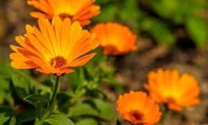 Flores y plantas para repeler mosquitos de forma natural