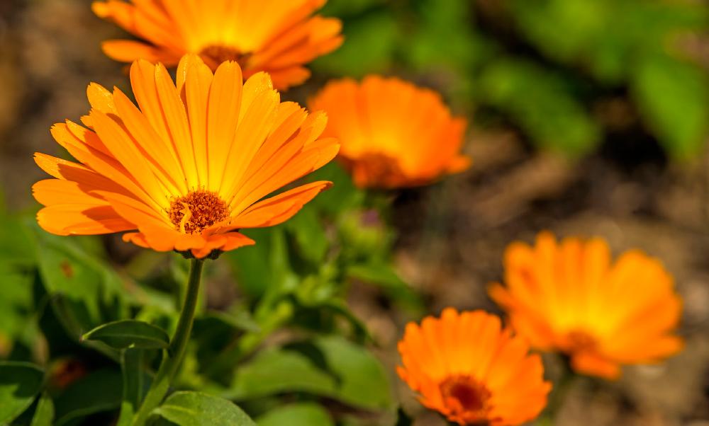 Flores y plantas para repeler mosquitos de forma natural - Plantas ahuyenta mosquitos ...