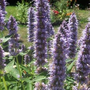 Flores azules: Agastache