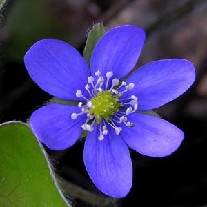 Imágenes de flores azules: Hepatica Nobilis
