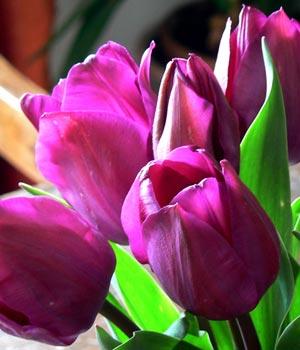 Fotografías de tulipanes