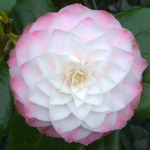 Fotos de flores de Camelias
