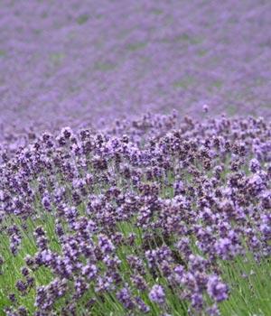 Fotos de flores: lavandas