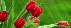 Fotos de Tulipanes