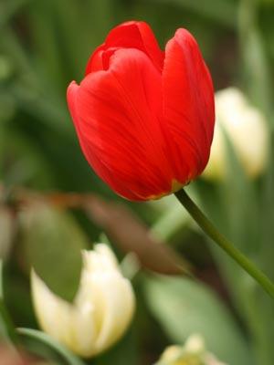 Tulipanes, fotos